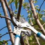 Schubert & Partner Gartengestaltung | Obstbaumschnitt